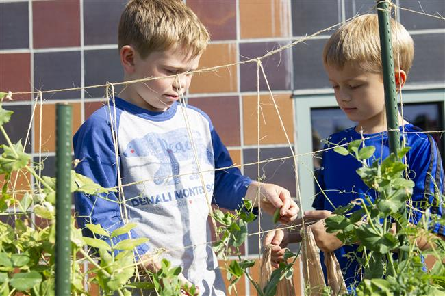 Two students pick vegetables from the Denali Montossori garden.