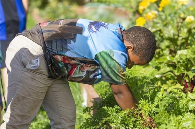 A student looks for vegetables to harvest.